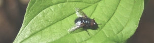 mouche sur une feuille 'mouche11' http://www.flickr.com/photos/59807308@N08/7266786976 Found on flickrcc.net